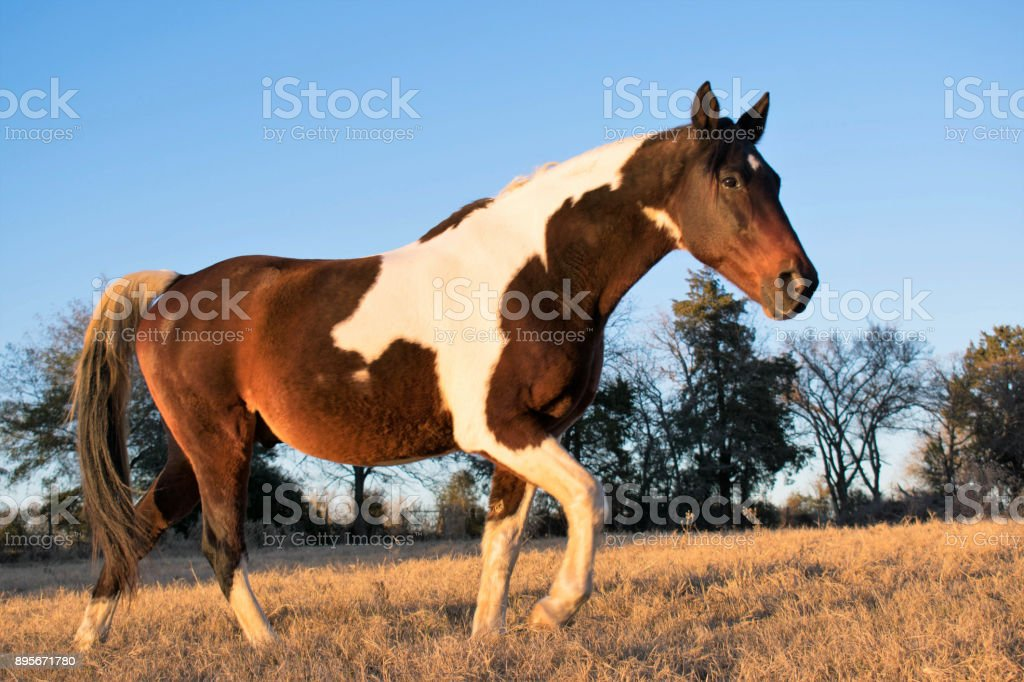 Horse at Sunset Portrait stock photo