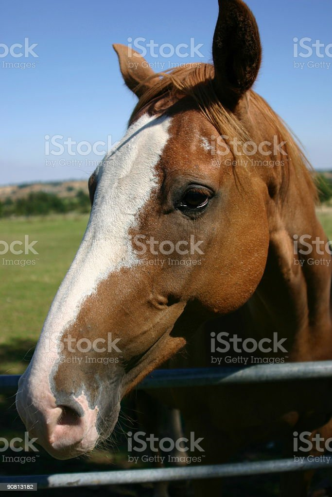 Horse at the gate royalty-free stock photo