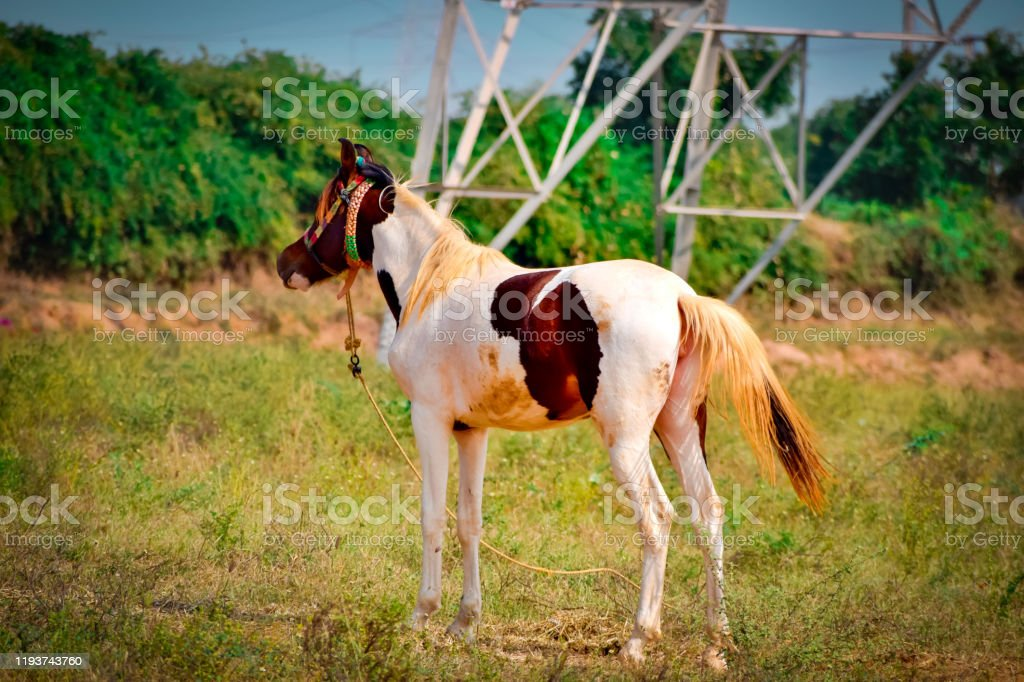 Horse Baby Standing On Grass Ground Beautiful Viewamerican Horse Standingwhite And Brown Horse Top View Stock Photo Download Image Now Istock
