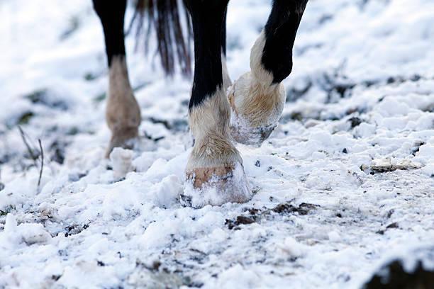 horse barefoot hoof walk on snow ground stock photo