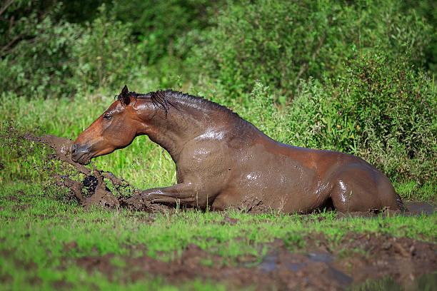 Horse bathes in the mud pond picture id587186002?b=1&k=6&m=587186002&s=612x612&w=0&h=jnklicjigxlfklk8mwgynoy5v4xnetj1tkmfl7ae  a=