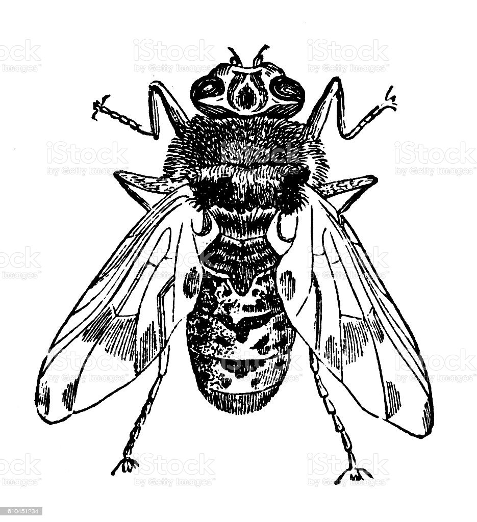 Horse bot fly (Gastrophilus equi) stock photo
