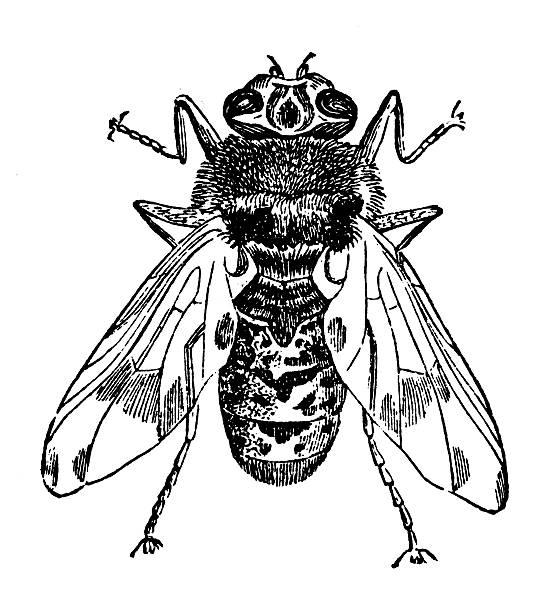 Horse bot fly (Gastrophilus equi) stock photo