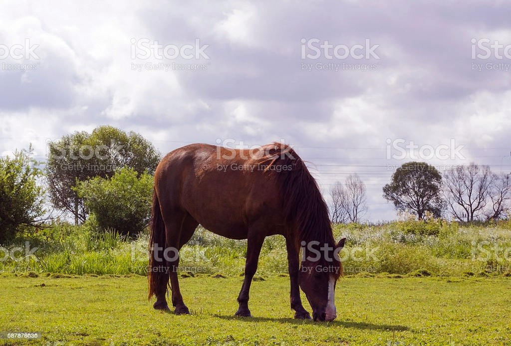 Horse brown color. Domestic animal horse grazes on pasture. Summer...