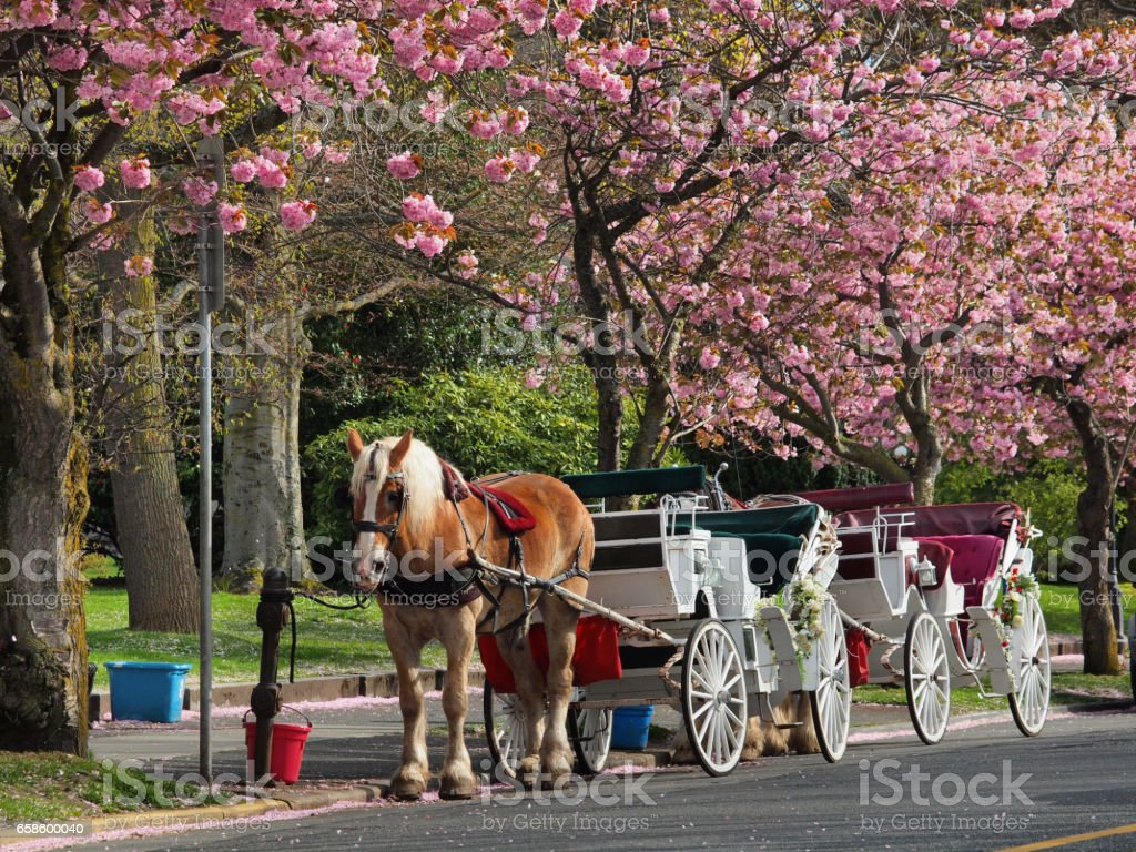 Horse carriage waiting for  tourists under the blooming cherry tree on the street stock photo
