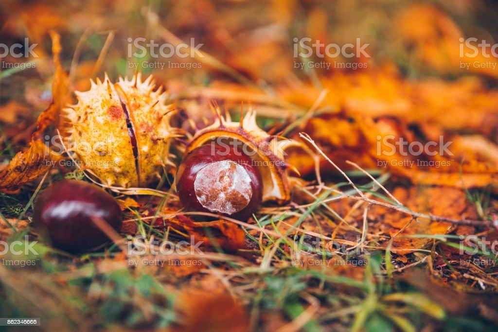 horse chestnut buckeye conker outside in the wood stock photo