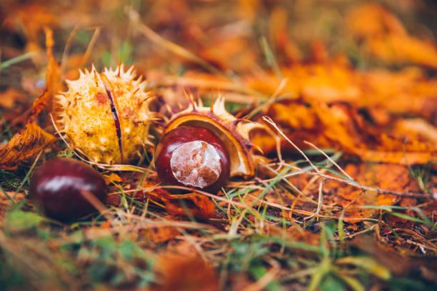 rosskastanie buckeye conker draußen im wald - kastanientiere stock-fotos und bilder