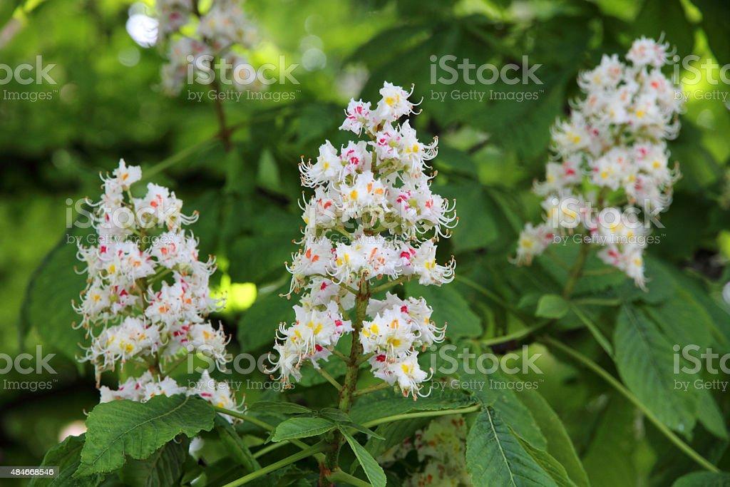 Horse chestnut (Aesculus hippocastanum, Conker tree) flowers stock photo