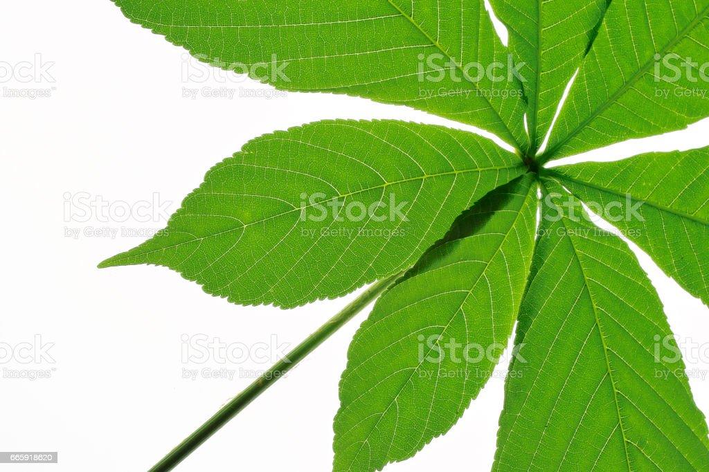 Horse chestnut leaf foto stock royalty-free