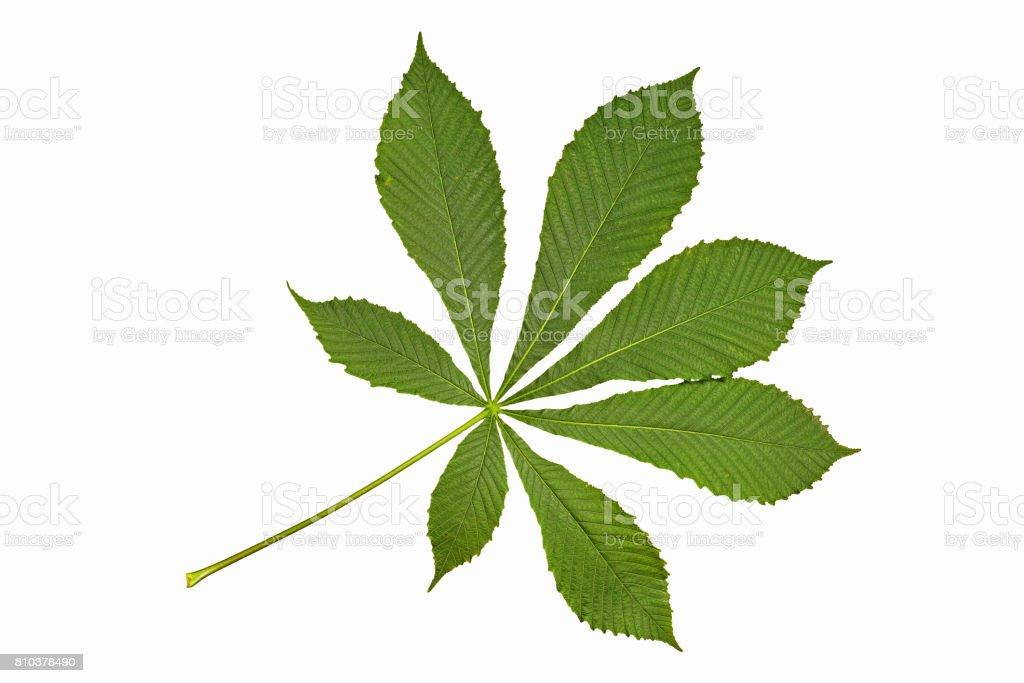 horse chestnut leaf stock photo