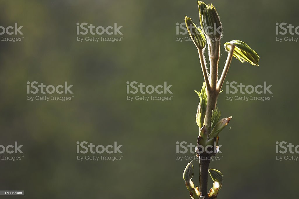 Horse chestnut spring leaf buds with copy space stock photo