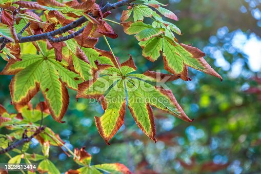 istock Horse chestnut leaves begin to dry and curl at edges due to heat and drought. The color of leaf changes smoothly from green to yellow and then to brown. Early autumn. Selective focus. 1323613414