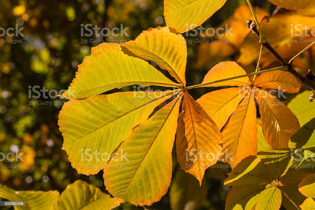 horse chestnut leaves in autumn colors stock photo