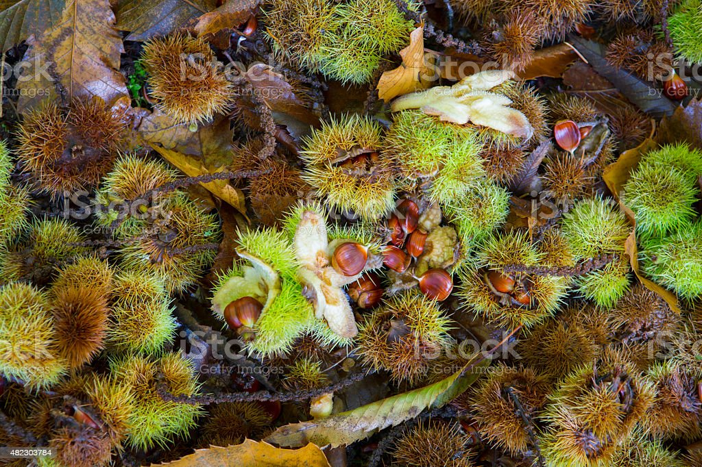 Horse Chestnut Seed Carpet Stock Photo & More Pictures of 2015 - iStock