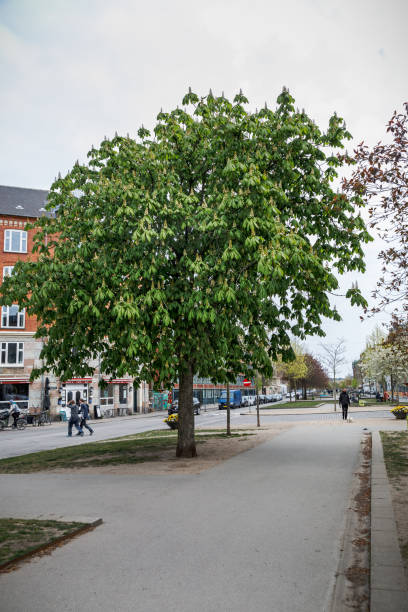 Horse chestnut tree in a boulevard stock photo