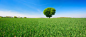 Panorama of solitary horse chestnut tree in green field of crops under a beautiful blue sky in spring