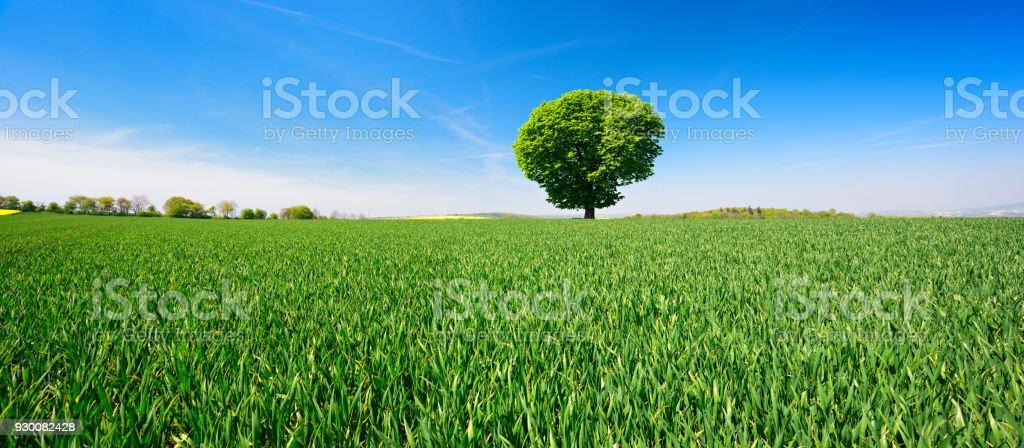 Rosskastanie Baum in grünen Wiese unter blauem Himmel – Foto
