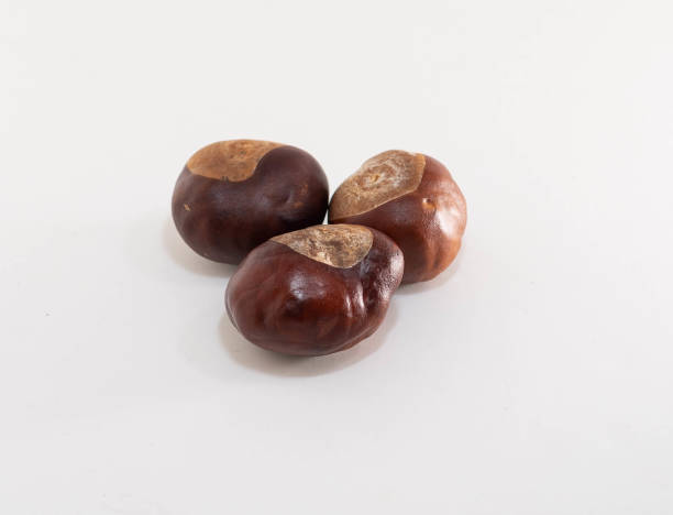 Horse chestnut tree seeds known as conkers stock photo