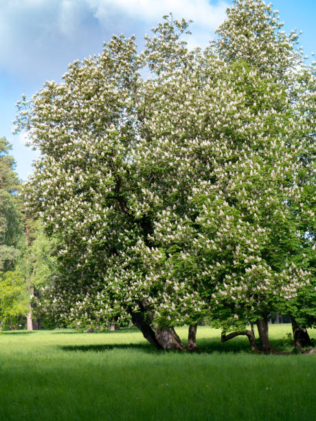 Horse chestnut trees in spring stock photo
