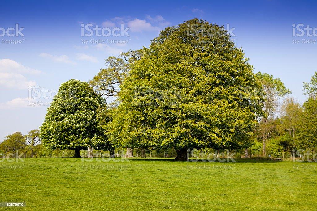 horse chestnut trees stock photo