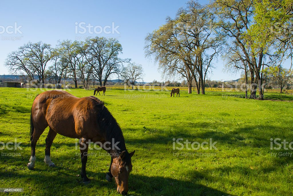 Horse closeup eating green pastures Alexander Valley Sonoma County California stock photo