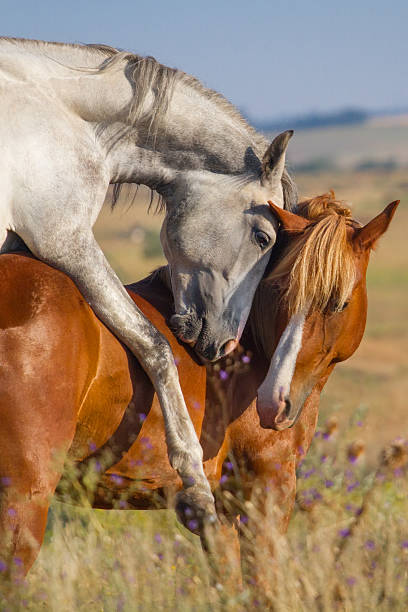 Best Male Horse Mating With Male Horse Stock Photos
