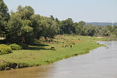 cows grazing by the river sakarya river in Turkey