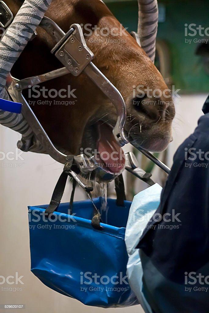 Horse Dentist stock photo