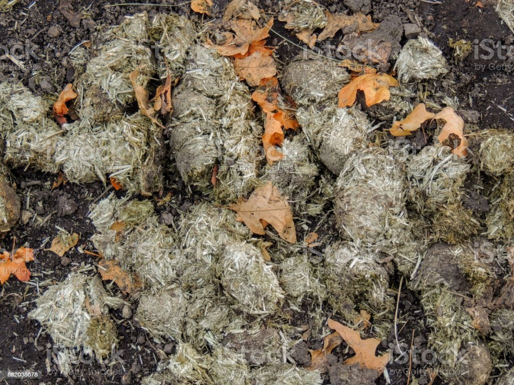 Horse dung close-up for background, detailed, on the dirt horseback trails through trees on the Yellow Fork and Rose Canyon Trails in Oquirrh Mountains on the Wasatch Front in Salt Lake County Utah USA. stock photo