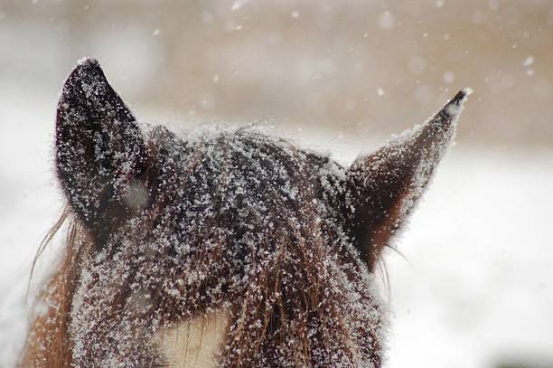 Horse Ears covered in Snow stock photo