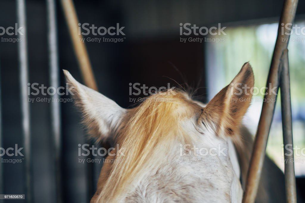 Horse Ears Listening stock photo