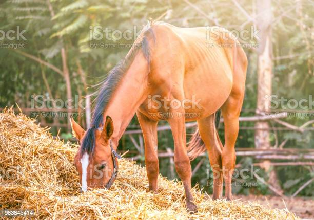 Photo of Horse eating a hay at ranch summertime.