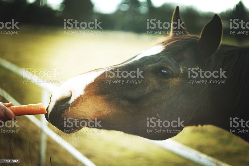 horse eating carrot stock photo