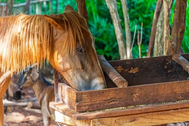 Horse eating corn stock photo