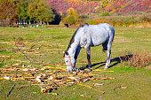 Horse eating dry corn plant . Feeding domestic animal . Farm in the autumn season