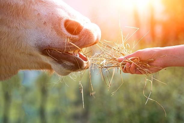 Pferd Essen von hand – Foto