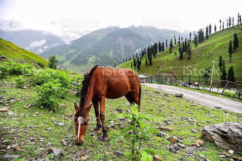 Horse eating grass at Sonamarg, Jammu Kashmir, India. stock photo