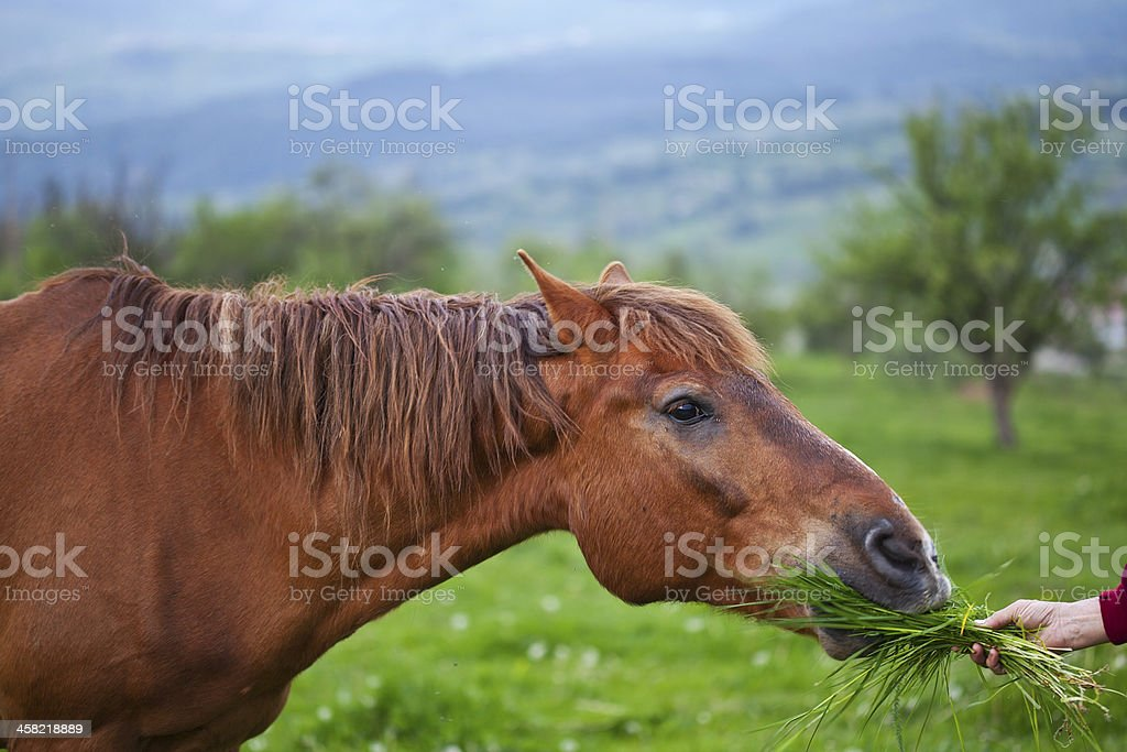 Horse eating grass royalty-free stock photo