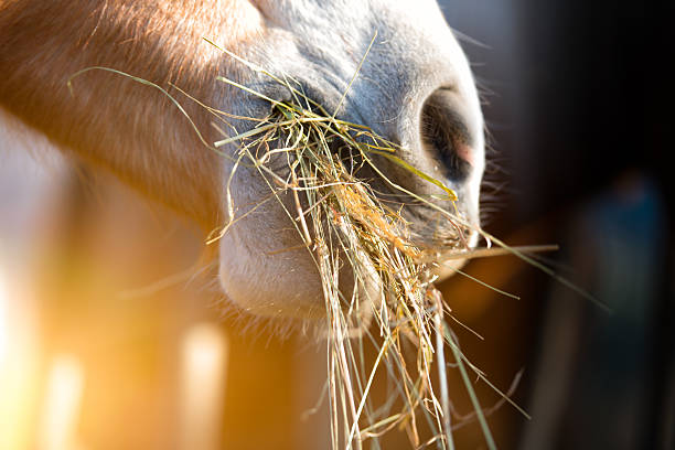 Horse eating grass Horse eating grass hay stock pictures, royalty-free photos & images