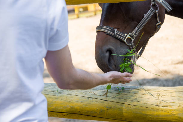 Horse eating green grass from the hand. stock photo