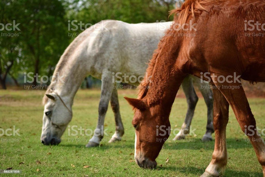 Horse eating 免版稅 stock photo