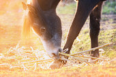 horse eats corn straw in pasture in sunlight at sunset , close up