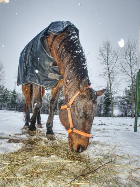 Horse enjoys snow in winter paddock stock photo