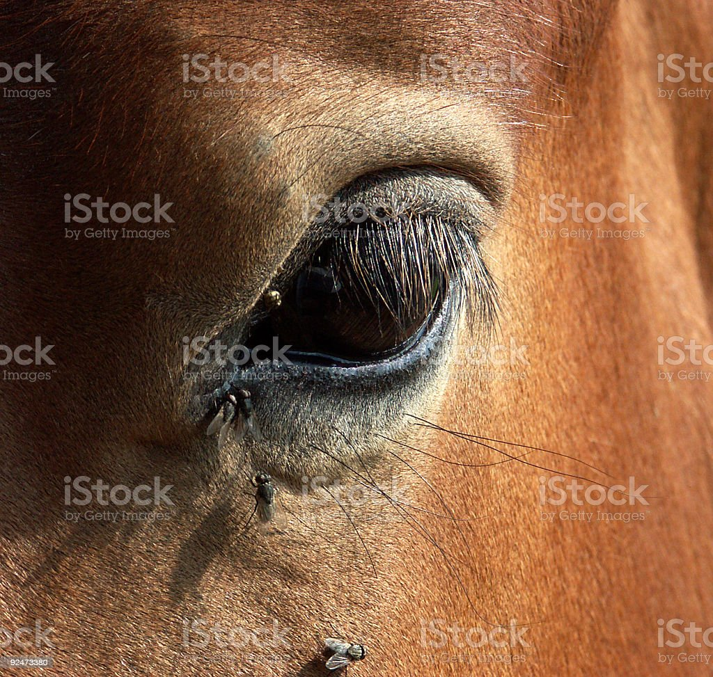 Horse eye close-up royalty-free stock photo