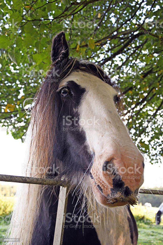 Horse Face stock photo