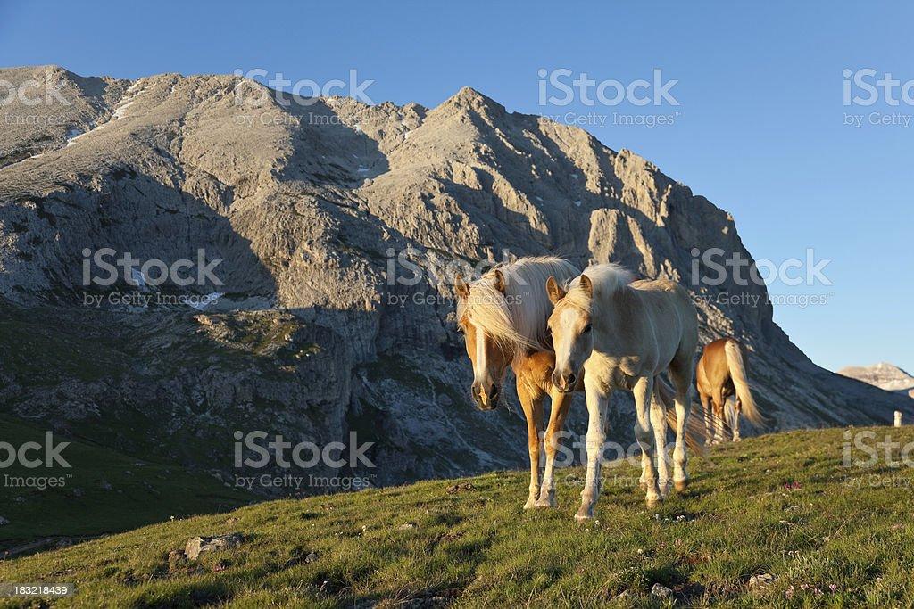 Horse family before sunset, Dolomites stock photo