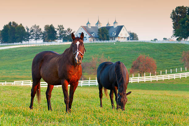 Horse Farm Horses in the fields on a farm in Lexington, Kentucky ranch stock pictures, royalty-free photos & images