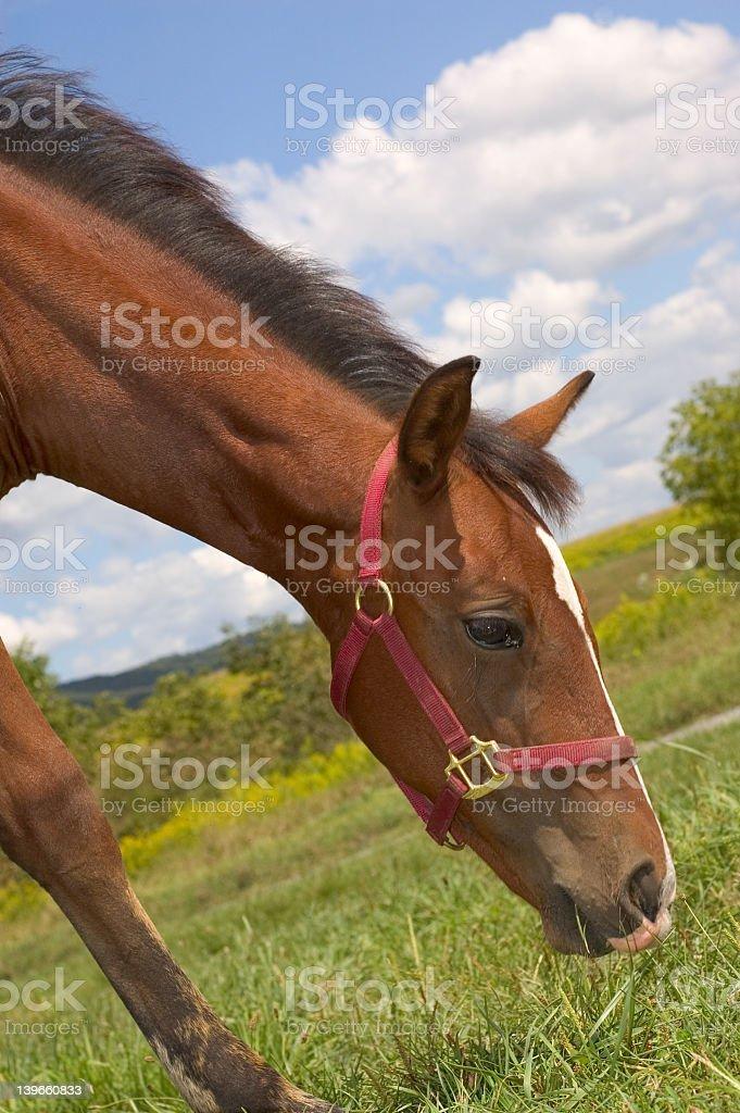 Horse Feeding royalty-free stock photo