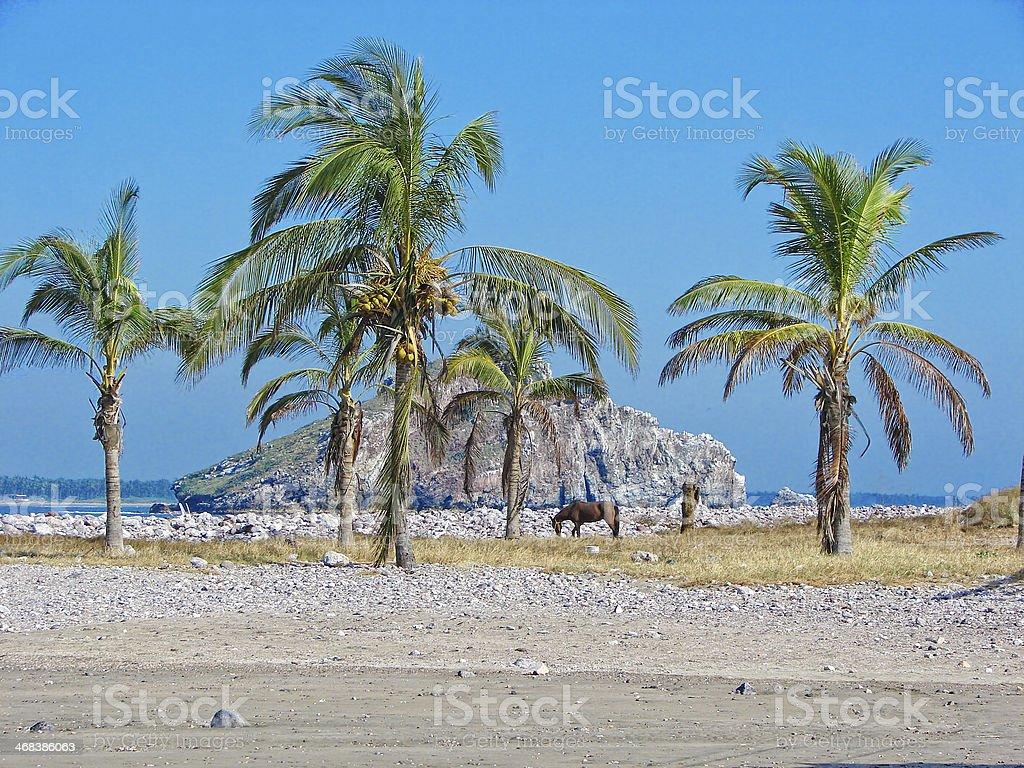 Horse feeding under palm trees at Mazatlan, Mexico stock photo