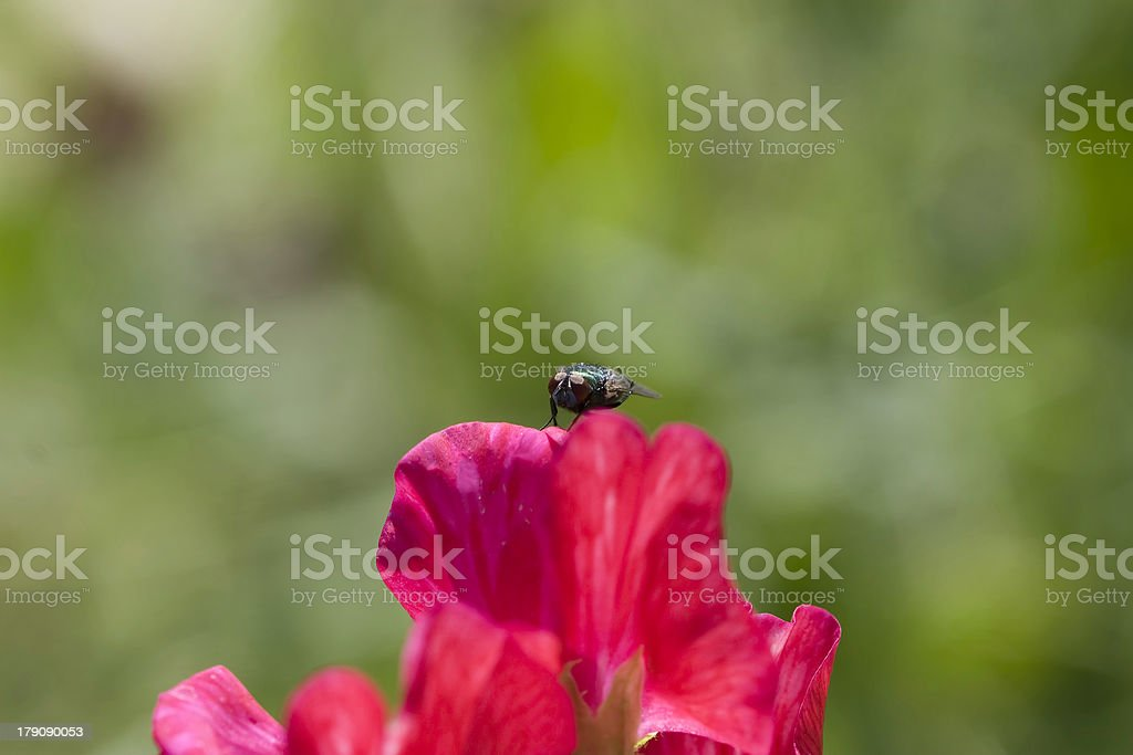 horse fly on red sweet pea flower royalty-free stock photo